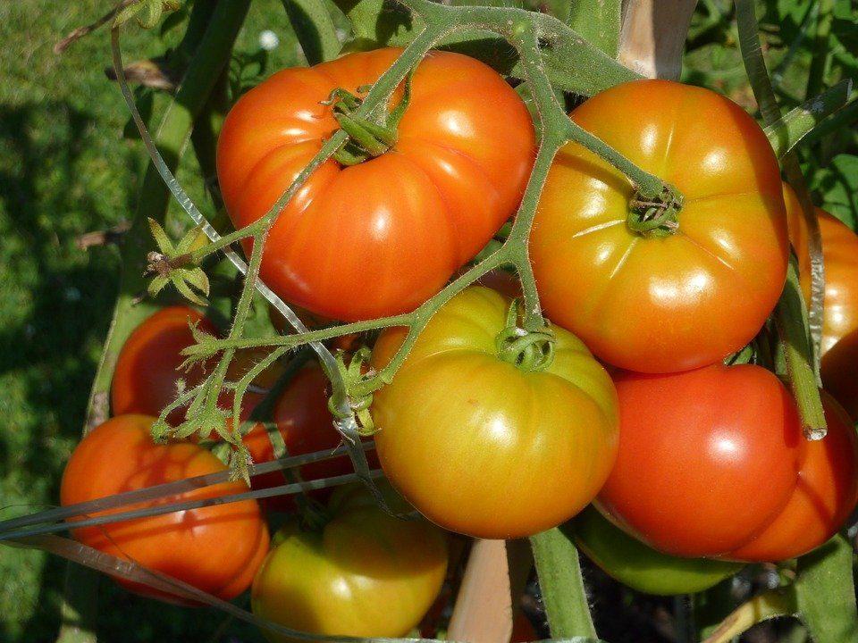 El tomate de Lodosa: orgullo de Navarra